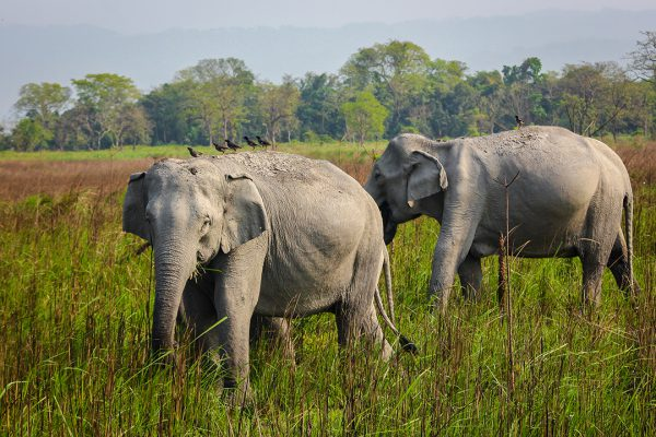 Asiatic Elephants Replacemnet