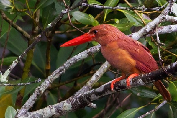 Sundarbns_0000_Ruddy_Kingfisher_Sunderbans_National_Park_West_Bengal_India_23.08.2014