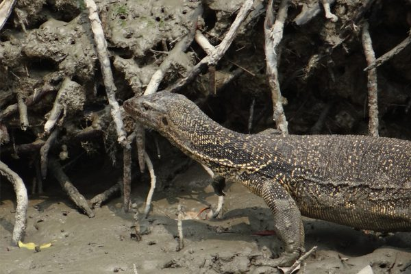 Sundarbns_0000_water-monitor-lizard-1226640_960_720