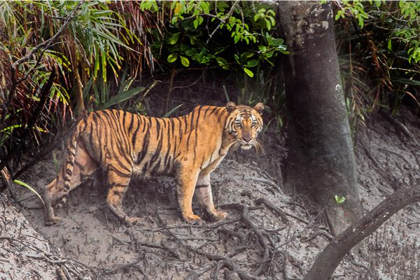 Sundarbns_0001_Tiger_Sundarbans_Tiger_Reserve_22.07.2015