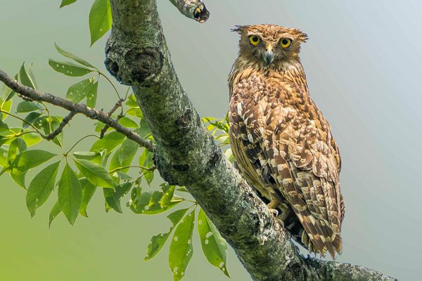 Sundarbns_0004_1024px-An_adult_Brown_Fish_Owl_at_Barpeta,_Assam_by_Hedayeat_Ullah